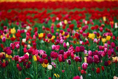 tulips March 2016 newsletter